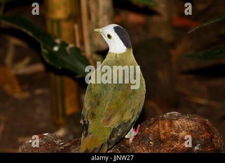 Male Southeast Asian Black-naped Fruit Dove (Ptilinopus melanospilus). - Stock Image