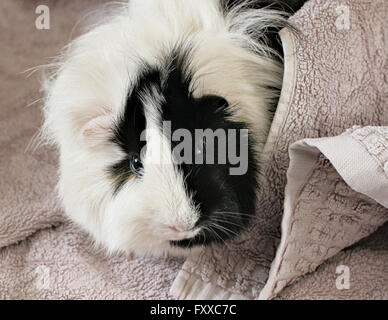 Black and white Abyssinian pet guinea pig wrapped in a towel. - Stock Image