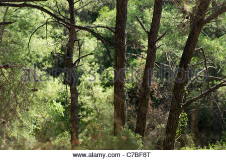 Beautiful Greek pine tree forest - Stock Image