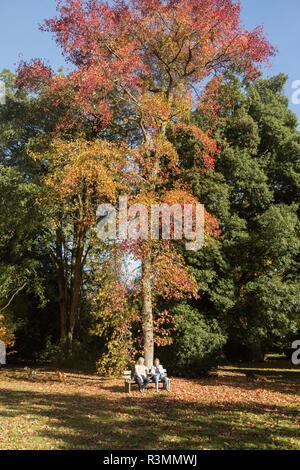 American sweetgum tree, Liquidambar Styraciflua, National arboretum, Westonbirt arboretum, Gloucestershire, England, UK - Stock Image