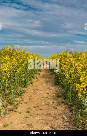 A track though a field of flowering oil seed rape in sunshine under a blue sky, with copy space - Stock Image