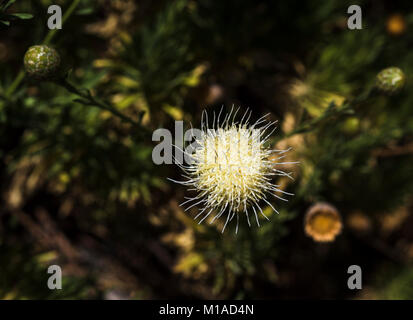 Teide knapweed (Cheirolophus teydis), a rare native endemic plant found only at high altitude in Tenerife, in flower - Stock Image