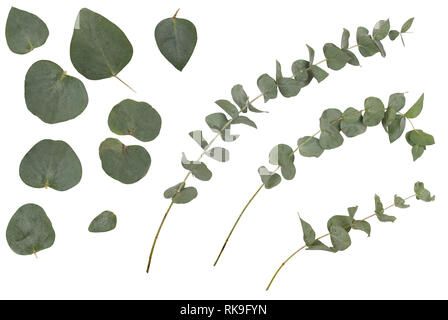 Eucalyptus cinerea, silver dollar; argyle apple, rustic green branches, twigs and leaves, isolated on white background - Stock Image