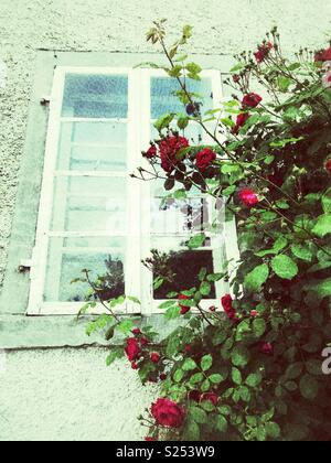 Red rose plant next to a window - Stock Image