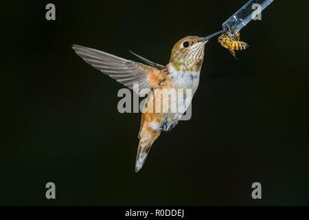 Immature male Rufous Hummingbird (Selasphorus rufus) shares a feeder with a honeybee (Apis mellifera). Tucson - Stock Image