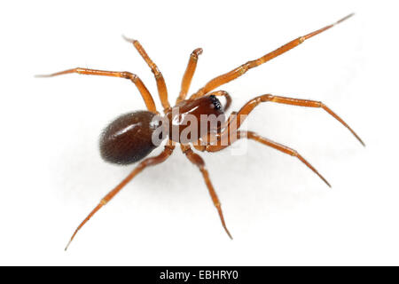 A female Winter Litter-Spider (Mmacrargus rufus) on a white background, part of the family Linyphiidae - Sheetweb - Stock Image