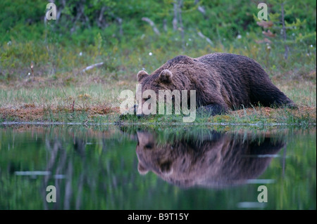 European brown bear Ursus arctos resting by forest lake Finland - Stock Image