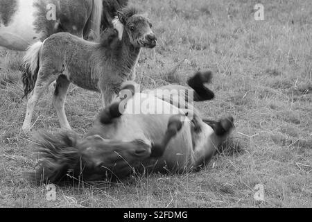 Frolicking mini horses - Stock Image