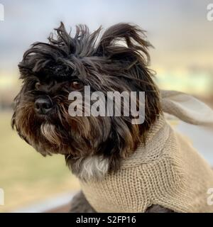 Dog dressed up as rabbit - Stock Image