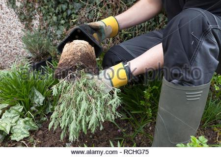 Gardener planting a lavender plant - Stock Image