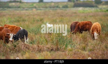 Rainham Marshes Essex UK - A Cattle Egret Bubulcus ibis amongst the cattle on the Rainham Marshes RSPB nature reserve - Stock Image