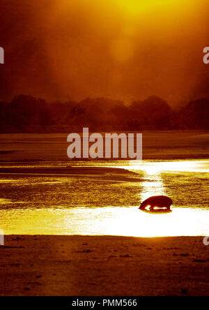 Hippo crosses the Luangwa River at sunrise.  South Luangwa, Zambia - Stock Image