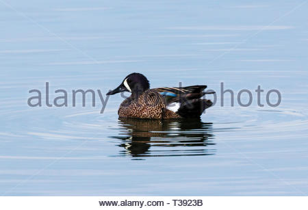 Blue-winged Teal, Anas discors, male swimming in pond in Arizona USA - Stock Image