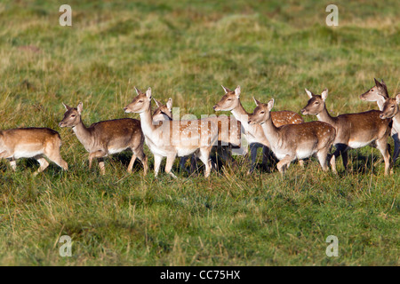 Fallow Deer (Dama dama), Herd of Hinds, Sjaelland, Denmark - Stock Image