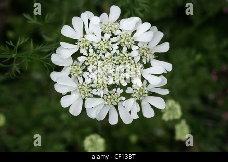 Coriander Flower, Coriandrum sativum, Apiaceae. Also called Cilantro, or Dhania. Europe and North Africa to southwestern - Stock Image