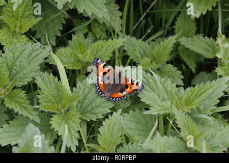 Small Tortoiseshell, Aglais urticae, in nettle bed - Stock Image