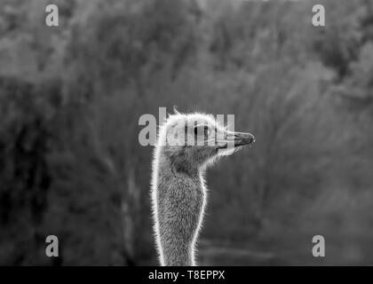 Ostrich head giving the photographer an evil eye in black and white, centered, with lots of copy space - Stock Image
