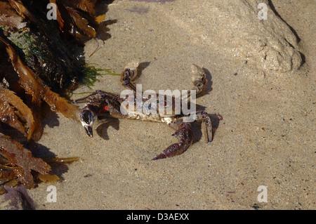 Velvet swimming crab (Necora (= Macropipus, = Liocarcinus, = Portunus) puber: Portunidae) at the edge of a rockpool - Stock Image