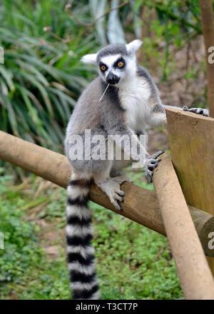 Ring tailed lemur at the Cotswold Wildlife Park, Burford, Oxfordshire, UK - Stock Image