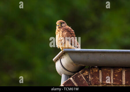 Closeup portrait of a female Common Kestrel (falco tinnunculus) resting and preening in a roof gutter of a house - Stock Image