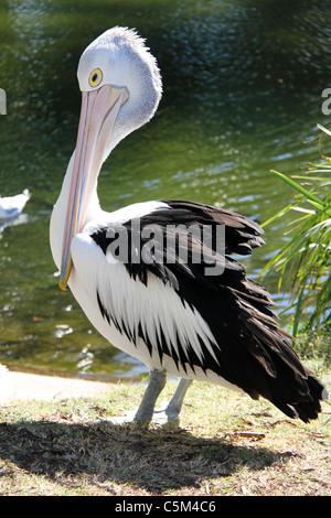 Great White Pelican Pelecanus onocrotalus, Australia - Stock Image
