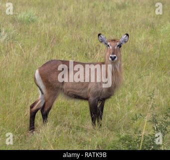 female Defassa Waterbuck, Kobus ellipsiprymnus ssp. defassa, Queen Elizabeth Park, Uganda, Africa - Stock Image