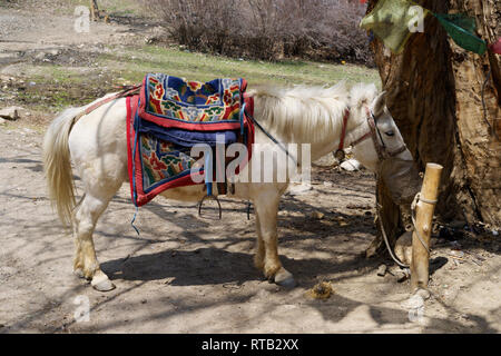 Pack horse feeding from a nose bag, Upper Mustang region, Nepal. - Stock Image
