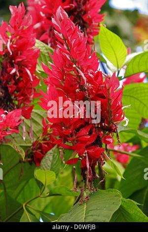 Brazilian Red Cloak, Megaskepasma erythrochlamys, Acanthaceae. Venezuela, South America. - Stock Image