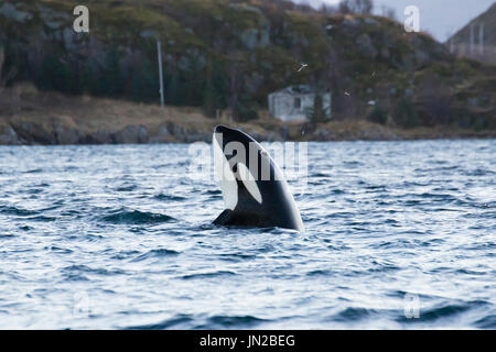Orca, or Killer Whale (Orcinus orca) spyhopping to watch people - Stock Image