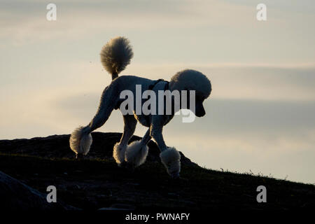 Standard poodle with shaved pom pom cut - Stock Image