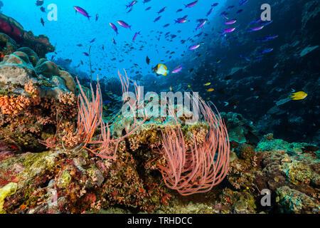 Whip Corals in Coral Reef, Ellisella ceratophyta, Tufi, Solomon Sea, Papua New Guinea - Stock Image