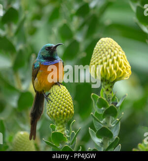 Male orange-breasted sunbird, Anthobaphes violacea, in Kirstenbosch National Botanical Garden at the foot of Table Mountain, Cape Town, South Africa - Stock Image
