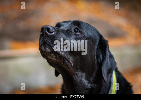 Beautiful black Labrador Retriever looking forward during autumn, dog has green collar, orange leaves are around, head of the dog is in the center - Stock Image