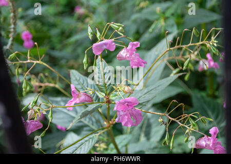 Pink Himalayan Balsam growing in damp ground near the river Avon in Bath - Stock Image
