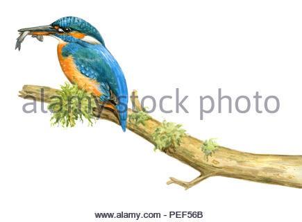 kingfisher alcedo atthis - Stock Image