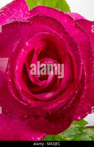 Close-up of a beautiful, red rose with dew or raindrops on the petals - Stock Image