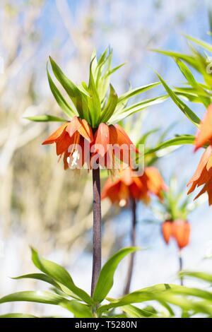 Fritillaria imperialis at the Oregon Garden in Silverton, Oregon, USA. - Stock Image