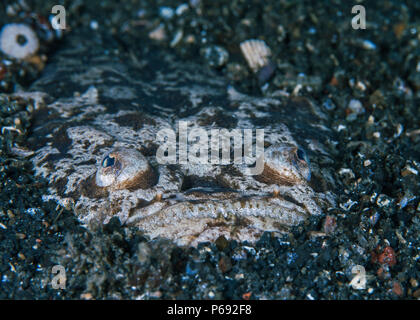 Stargazer fish, an ambush predator, is buried and camouflaged at night in the sea floor. Lembeh Straits, Indonesia. - Stock Image