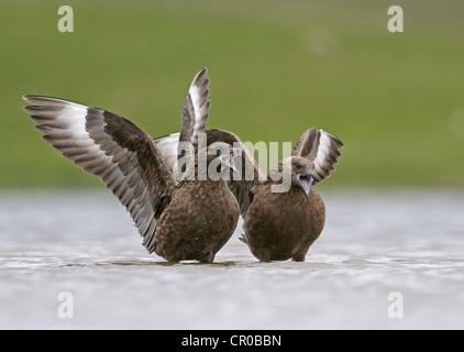 Great skua or bonxie (Stercorarius skua) adults displaying on freshwater loch. Shetland Isles. June. - Stock Image