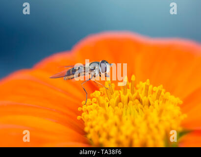 A Drone fly (Eristalis tenax) resting on a tithonia flower - Stock Image