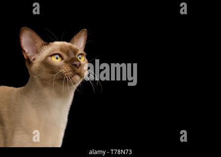 Close-up Portrait of Chocolate Burmese Cat Looking up isolated on black background, side view - Stock Image