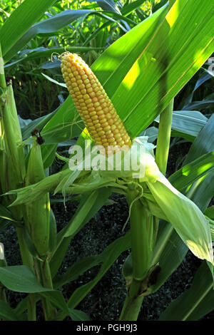 Maize cob, shown growing in a British field, Cheshire, Summer dry conditions, North West England, UK - Stock Image