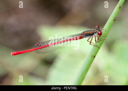 European Small Red Damselfly (Ceriagrion tenellum) - Stock Image