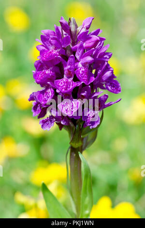 Northern Marsh Orchid (dactylorchis purpurella), close up of a single flowering plant. - Stock Image