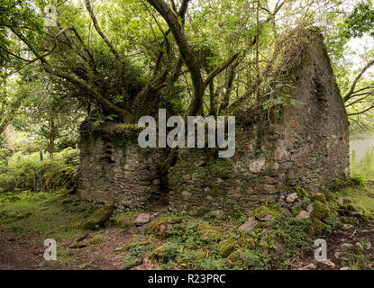 Concept of Mother Nature retaking her due.  Tree growing out of ruins of rock house on the Kerry Way in Ireland - Stock Image