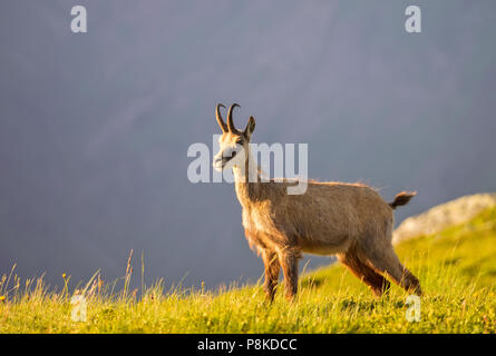 Evening chamois - Stock Image