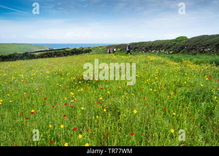 Holidaymakers walking through colourful wildflowers growing in a field at the Arable Fields Project on West Pentire in Newquay in Cornwall. - Stock Image