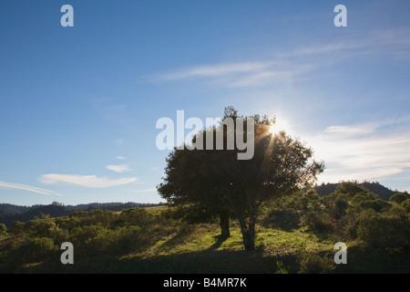Oak tree along Fairfax Bolinas Road Marin County California - Stock Image