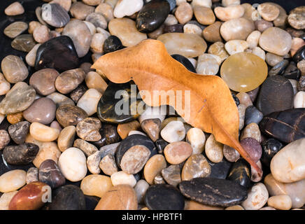 A dried Eucalyptus leaf on a bed of river rocks - Stock Image