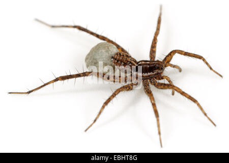 Female Pardosa palustris spider on white background. Family Lycosidae, Wolf spiders. The spider is carrying an egg - Stock Image